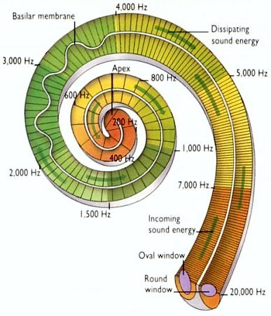 i10-85-cochlea22
